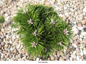 pinus-nigra-bobo